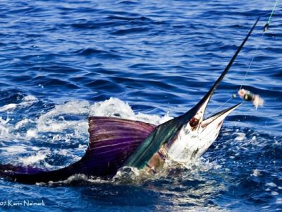 Pacific Sailfish at Bahia La Tortuga Fishing Lodge.